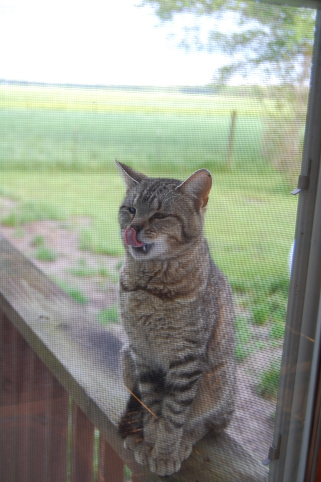 Barn cat that likes to visit my kitchen window.