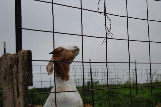 goat_baling_wire