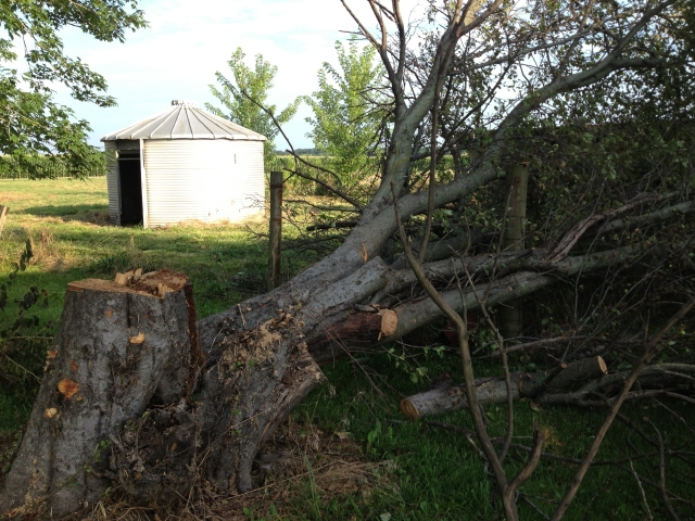 The old apple tree had  to go before a storm knocked it down on the new fence.