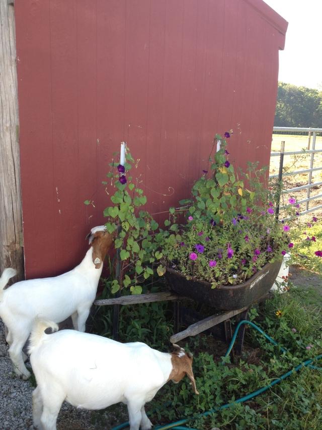 My gardening assistants.