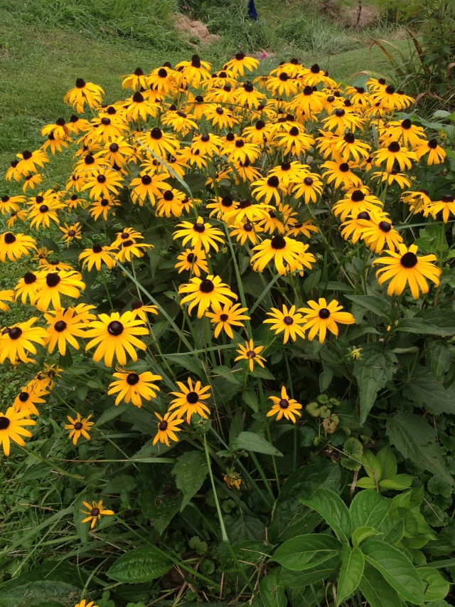 "Black-eyed Susans say, ""Hello."""