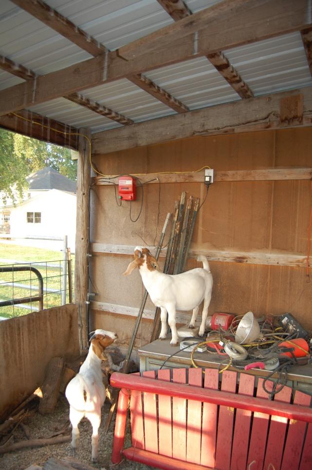 Boer_goat