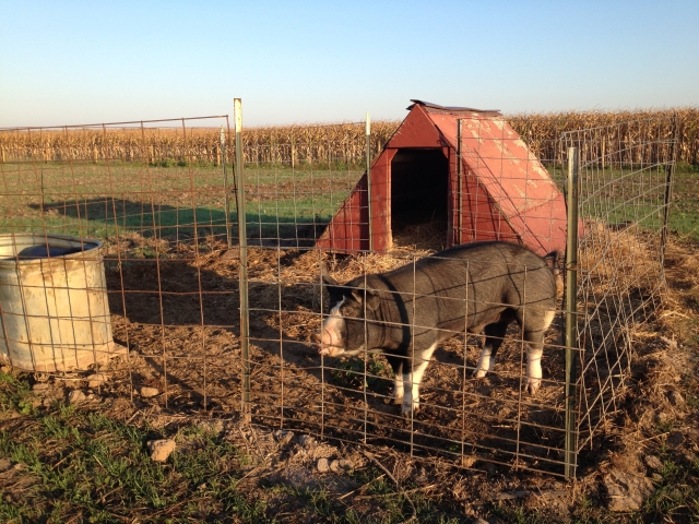 Pig-farmer moved Bert to an outside pen and hut.