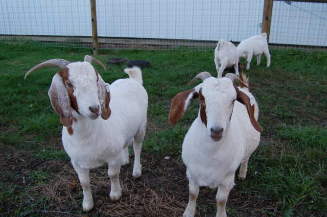 Boer_Goat_Does