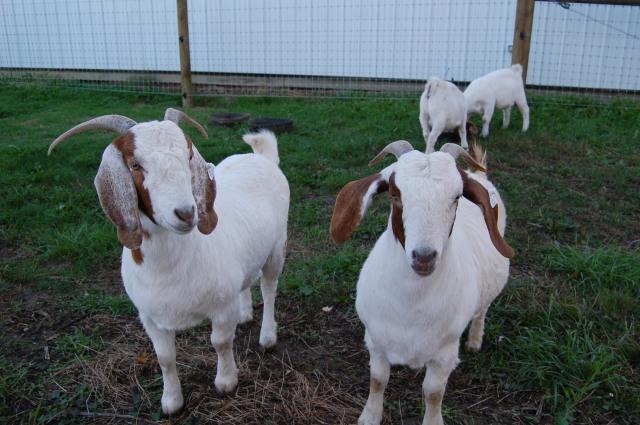 Boer_Goat_Does