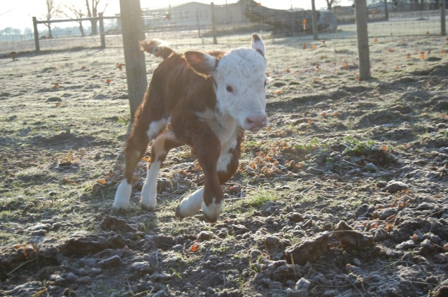 Polled_Hereford_Calf