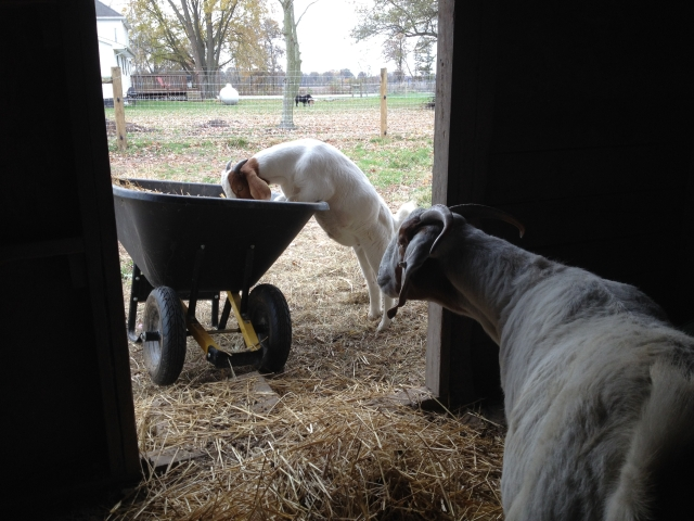 This wasn't exactly the help I was looking for while cleaning the goat barn...