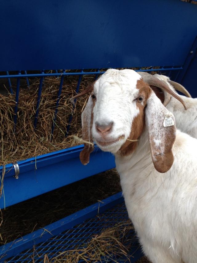 Boer_Goat_Hay_Feeder