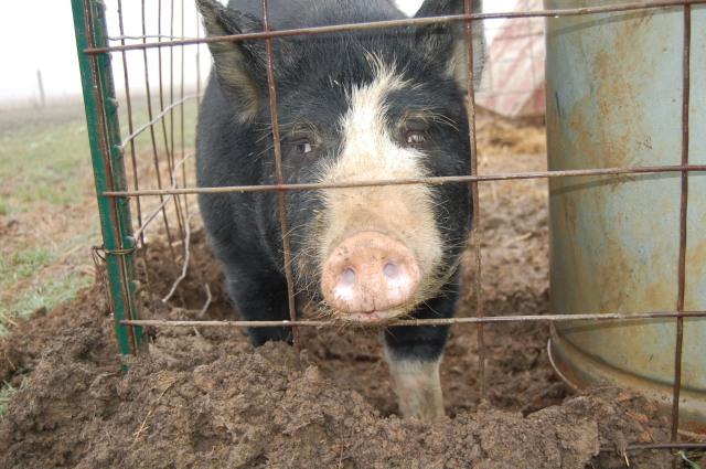 Berkshire_Pig