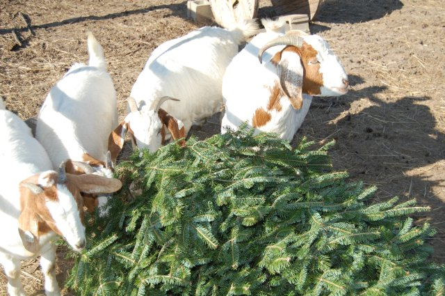 Boer_goats_evergreen