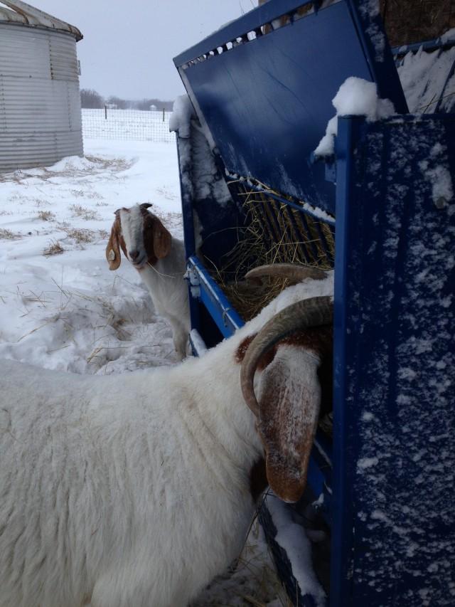 Goats2014