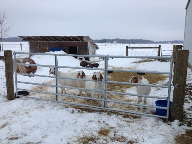 The goats are waiting for me at the gate again, instead of hiding in the barn.