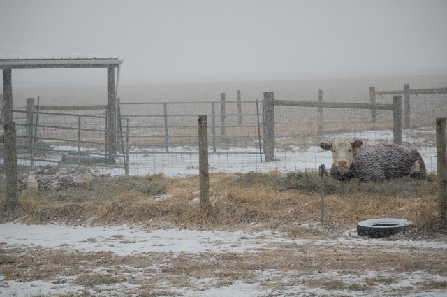 Polled_Herefords_Snow