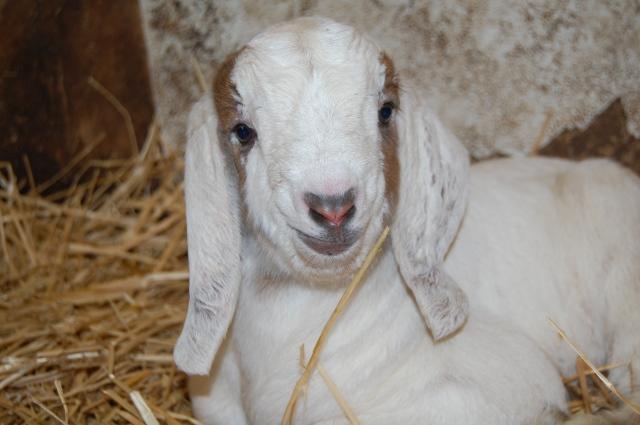 Boer_Goat_Kid
