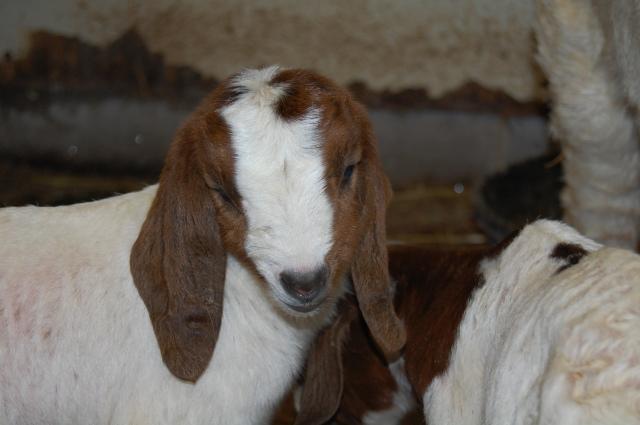Boer_Goat_kids