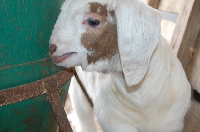 Boer_Goat_kid