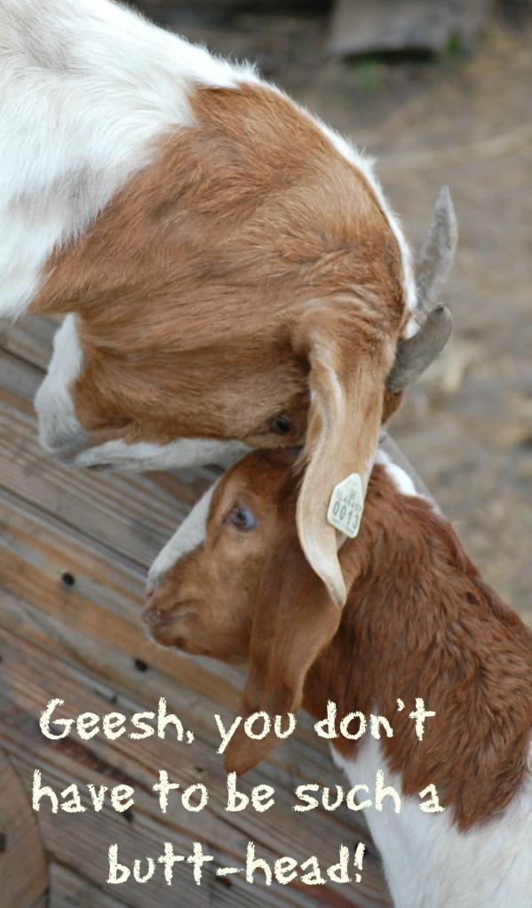 Boer_Goats
