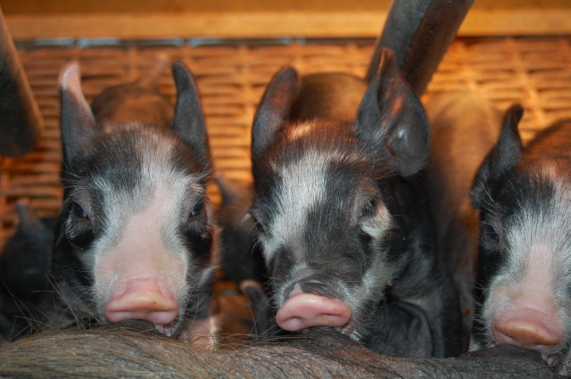 Piglets_Nursing