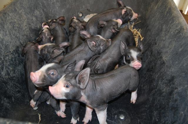 Berkshire_Piglets