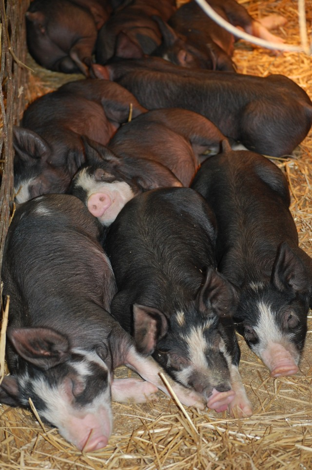 Napping_Pigs