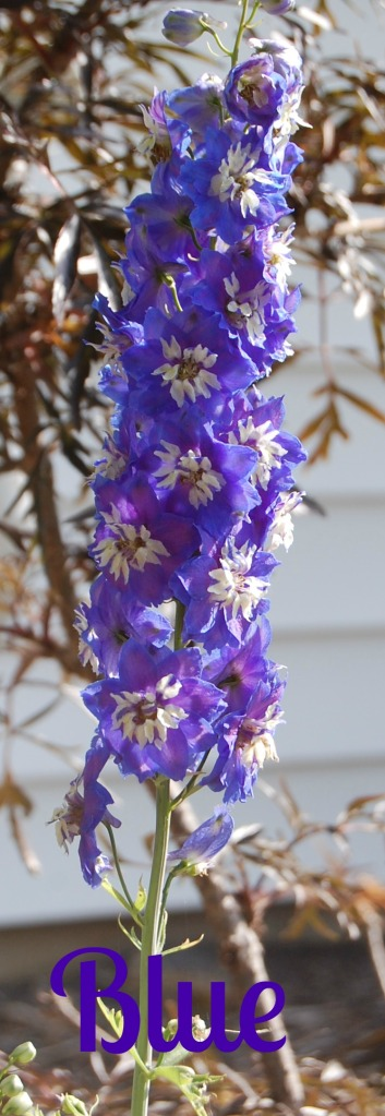 Why is this the first time I have planted Delphinium?  It is gorgeous!