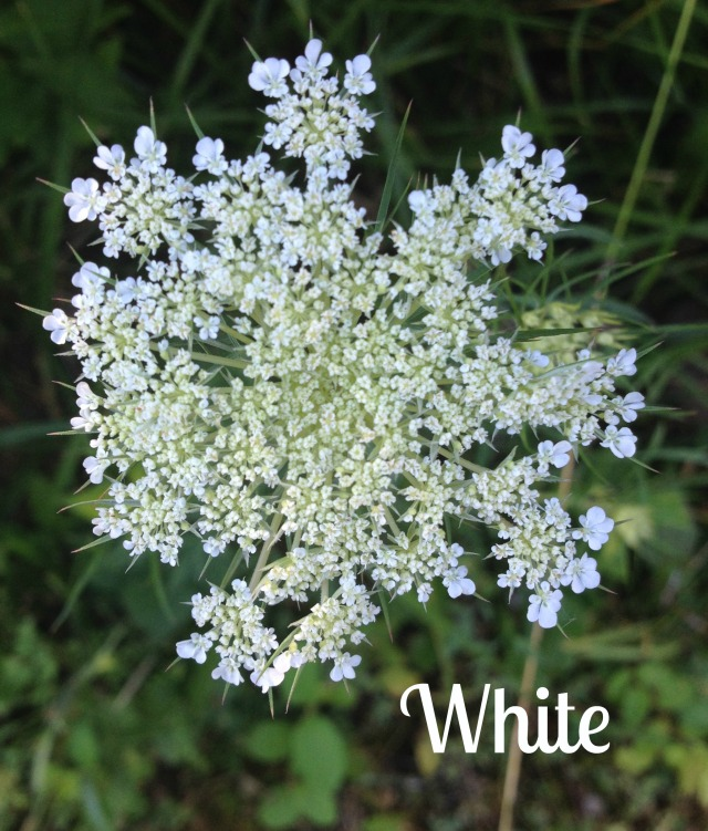 Queen Anne's Lace - like a burst of white fireworks.