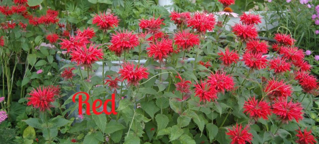 Red Bee Balm to fire up the yard.