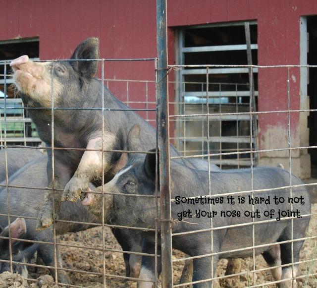 Berkshire_Pigs