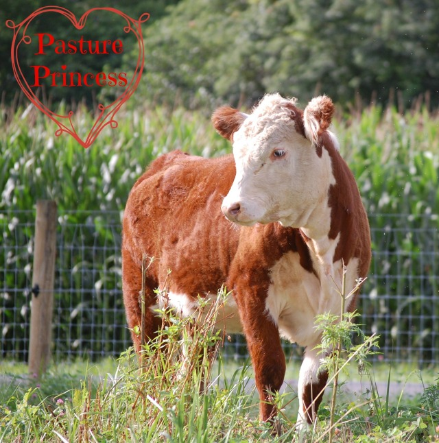 Polled_Hereford