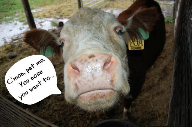 Cow_Nose