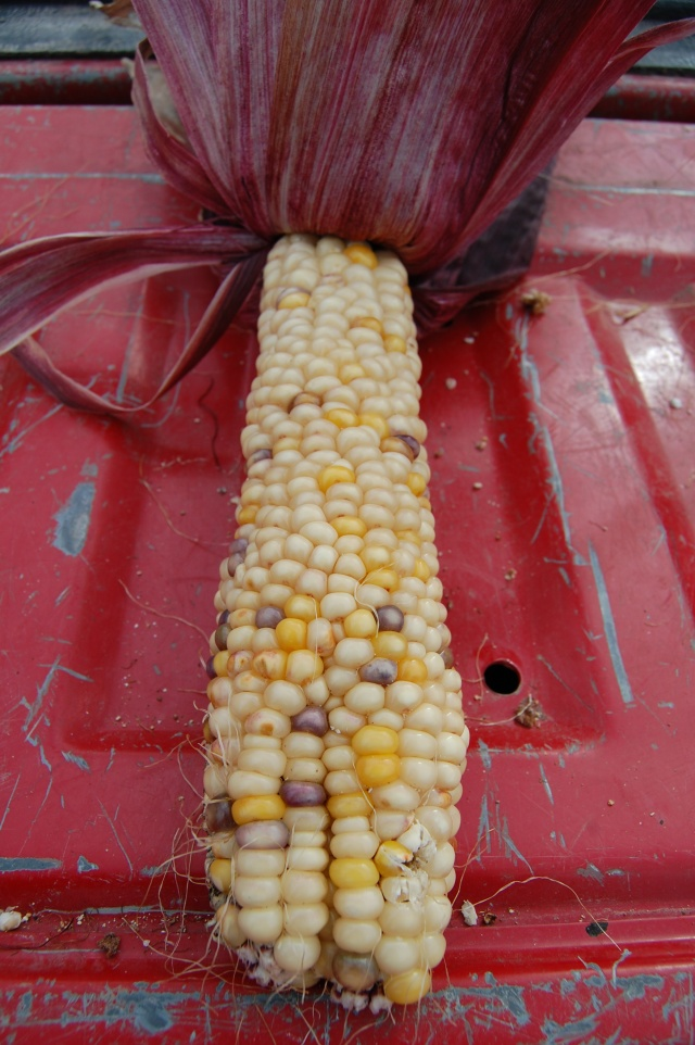 Ornamental_Corn
