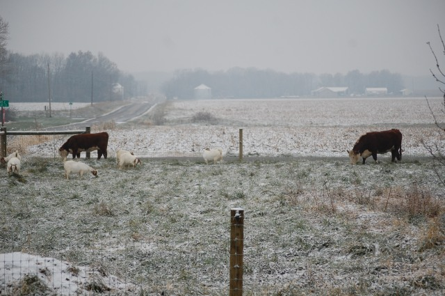 Polled_Herefords