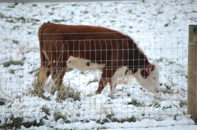 Polled_Hereford_snow