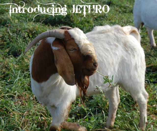 Boer_Goat_Buck