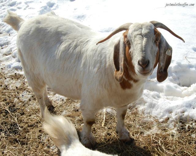 GoatsPosey