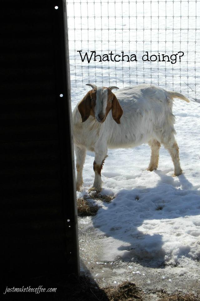 GoatsWhatcha