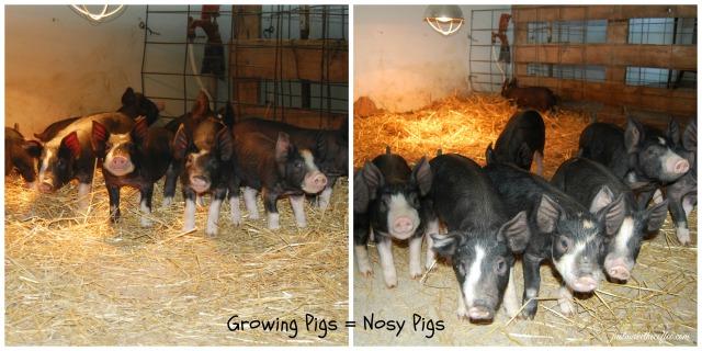 Apr 12 Pig Collage
