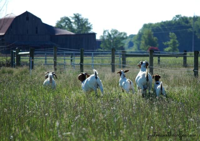 22Running Goats
