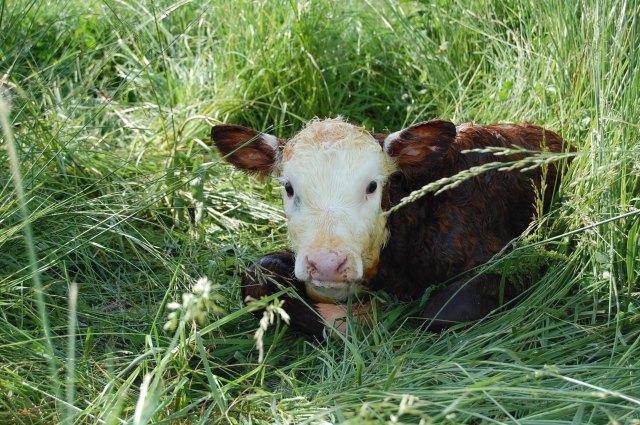 Newborn_calf