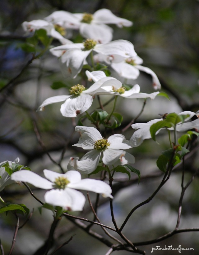 May4Dogwood
