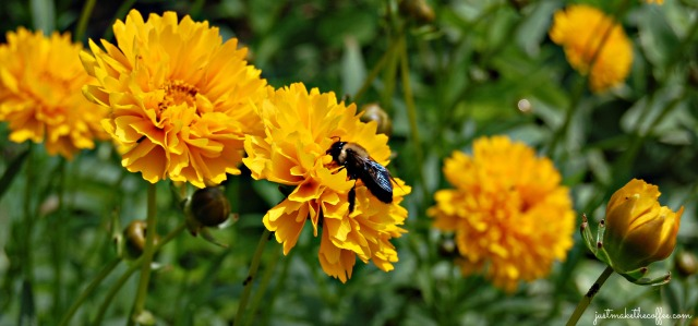 June5 Bee in Coreopsis