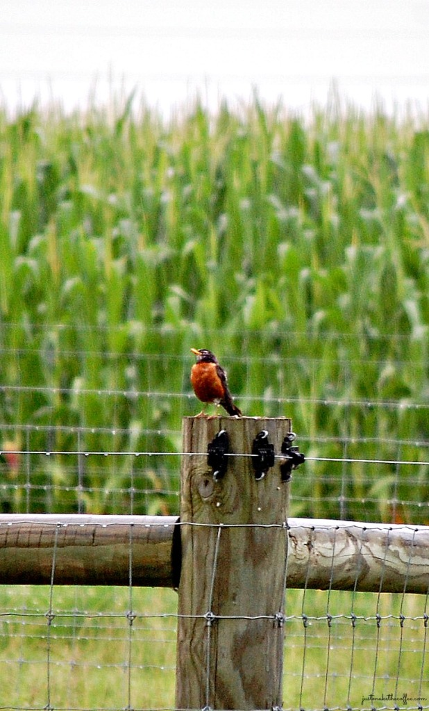 Robin_on_fence_post