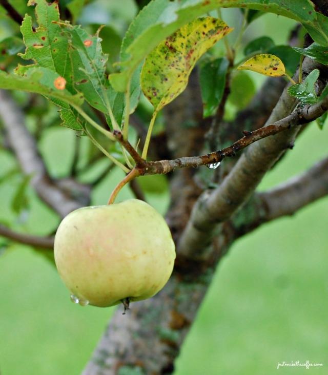July7 Apple on branch