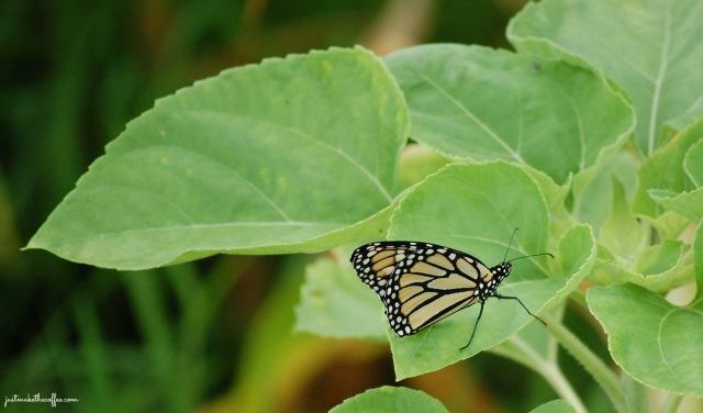 July7 Monarch