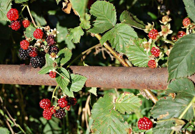 31 Blackberries