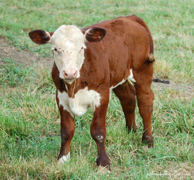 Bull_Calf