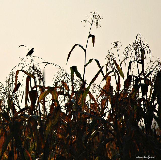 Sept4 Bird on Corn
