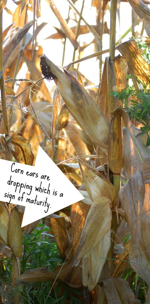 Sept4 Dropping Corn ears
