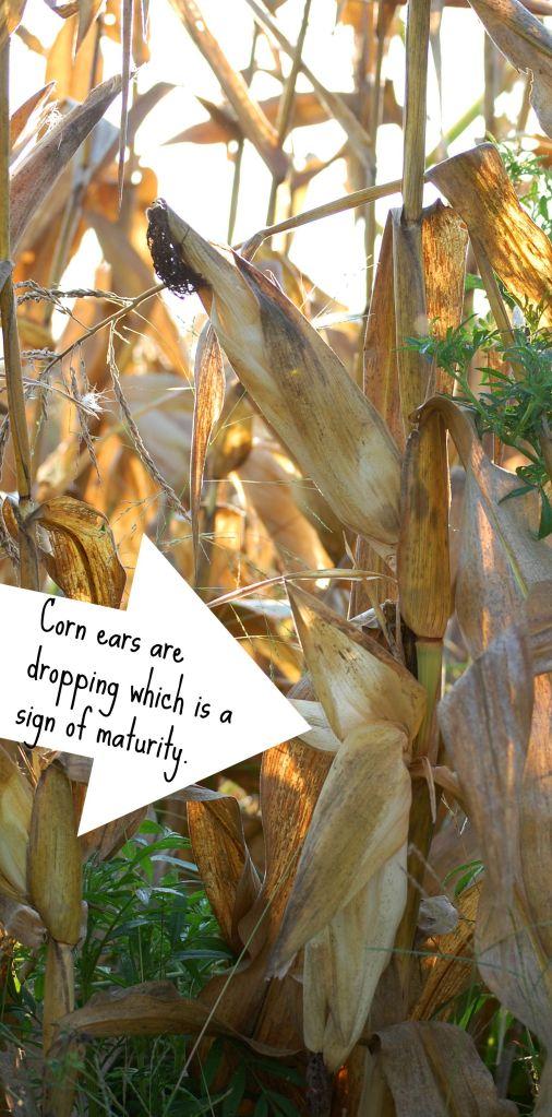 Sept4 Dropping Corn ears