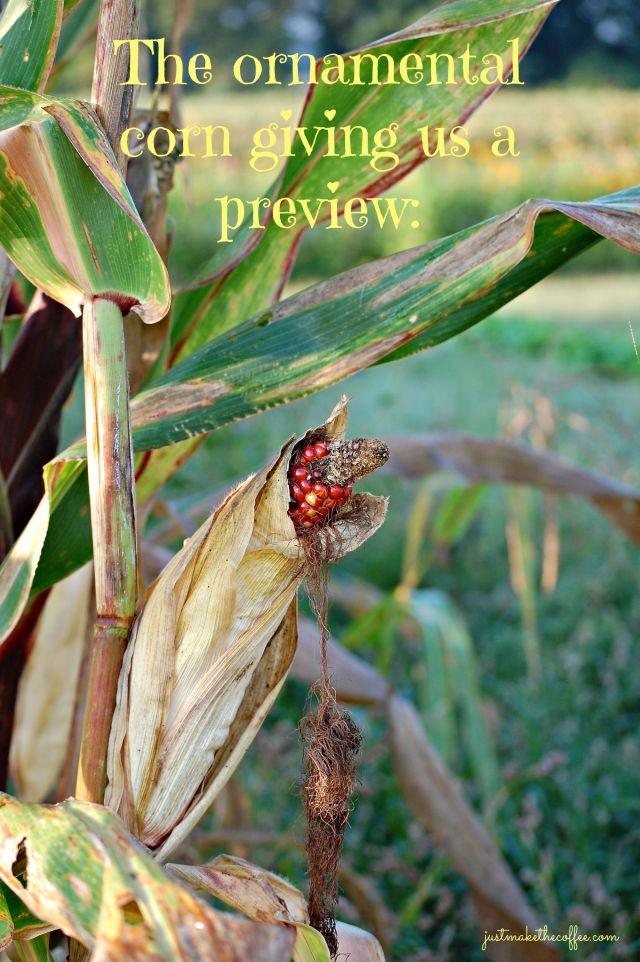 Sept4 Ornamental Corn